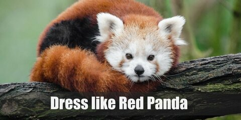 The red panda doesn't actually look like a panda. It looks more like a cross between a bear, a raccoon, a skunk, while being roughly the size of a cat. Red pandas have an orange-red fur with white-detailed ears. They have a long furry tail and very huggable body.